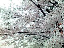 sakura20080330.jpg